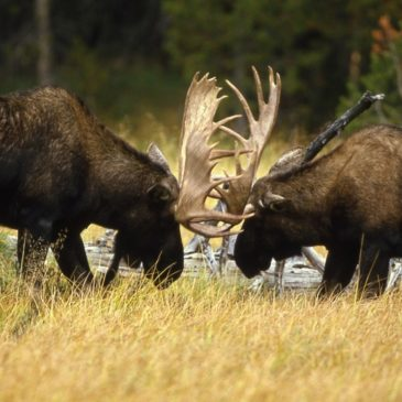 Close Encounters with the Mighty Moose