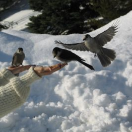 Hand Feeding the Wild Grey Jays: A Moment of Connection