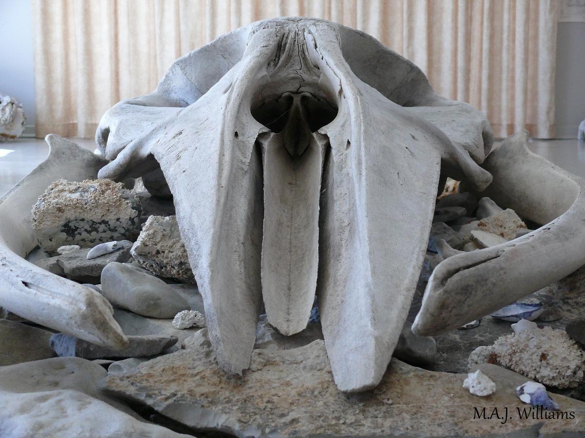 Minke Whale Skull