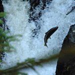 Heading upstream to spawn