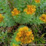Rare arctic-alpine plant